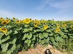 Sunflower Herbicide Tolerant Package